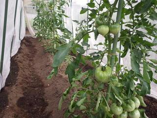 トマト生育状況